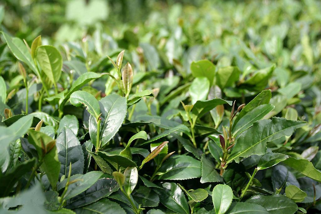 茶树Camellia sinensis L. O. Ktze. 4